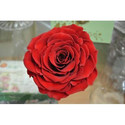 Trandafiri Criogenati XXL